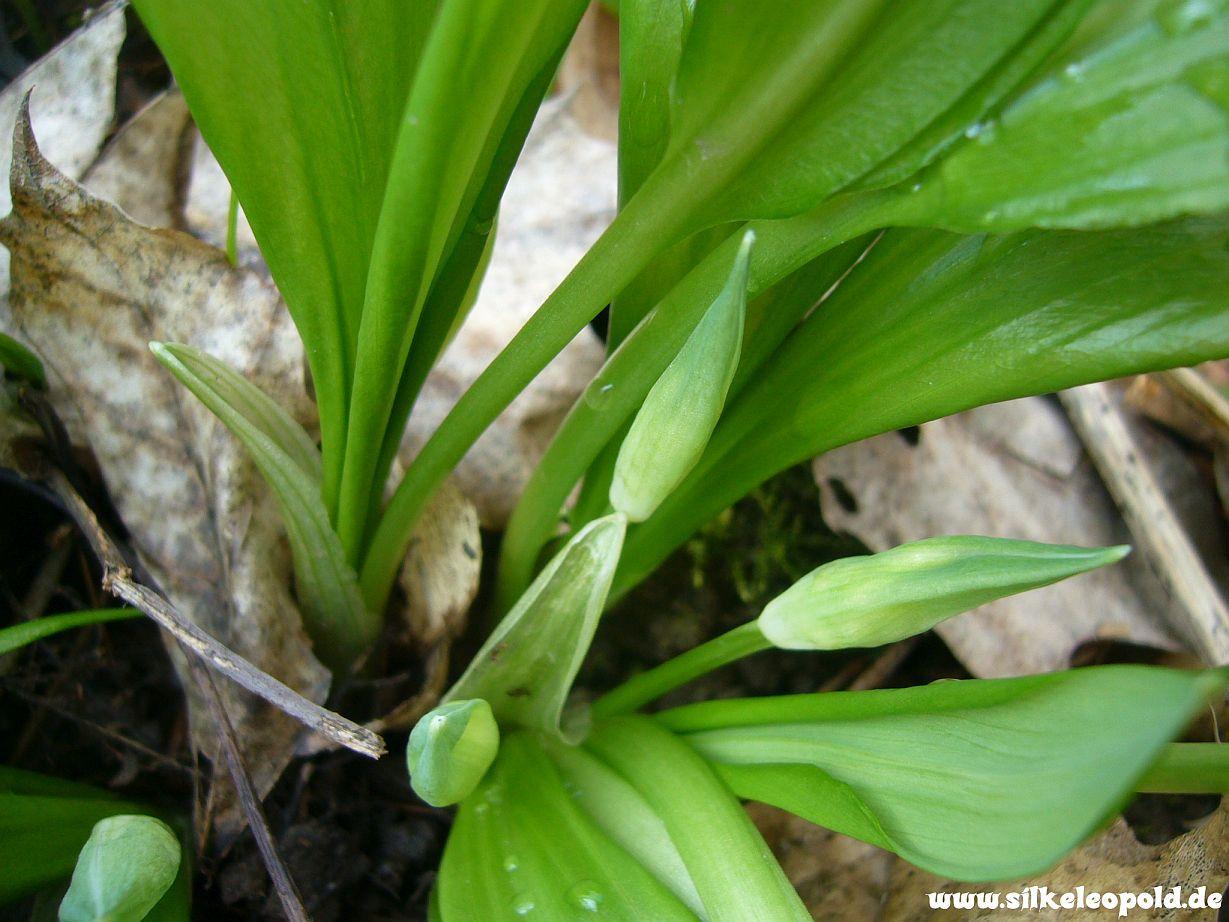 Bärlauch mit geschlossener Blüte
