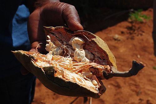 Baobab, Neemblatt und Papayablatt - Gesundes aus dem Senegal