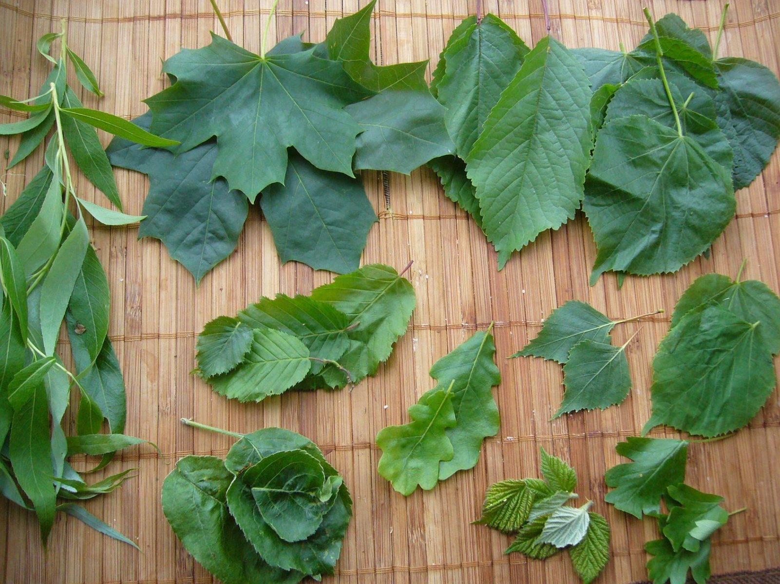Baumblätter - essbares Wildgrün von oben