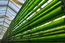 Chlorella – das grüne Gold aus der Altmark