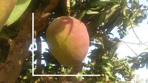 Mango Filfily