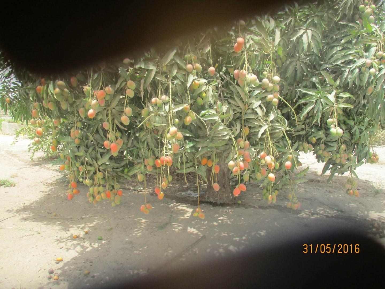 Mango Sewe