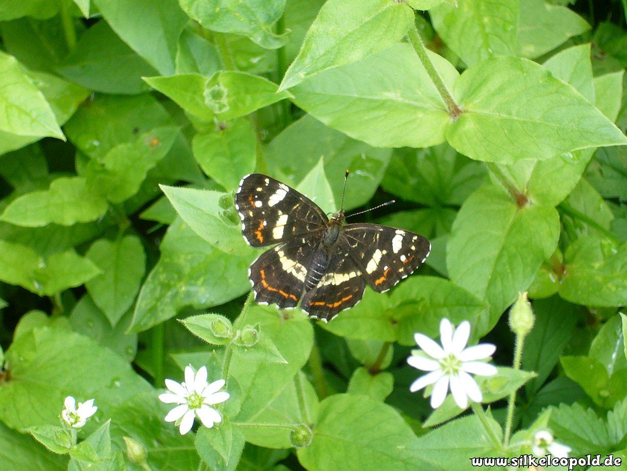 Vogelmiere - kleiner grüner Schatz in der Natur!