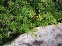 16 wertvolle erste Wildpflanzen im April erkennen