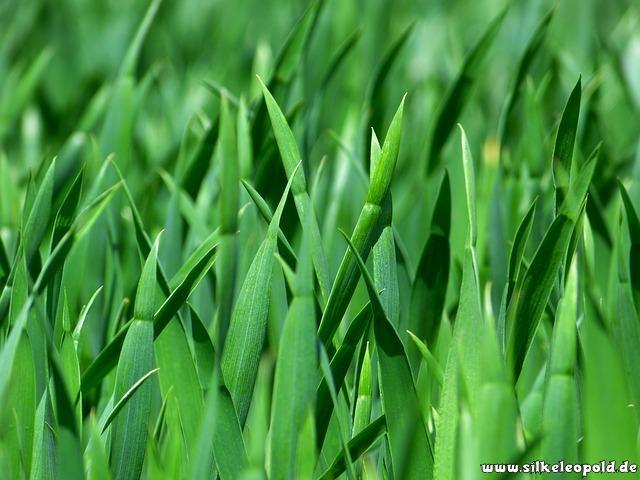 Wiesengras als Lebensmittel